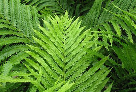 picture of ferns plant matteuccia struthiopteris ostrich fern