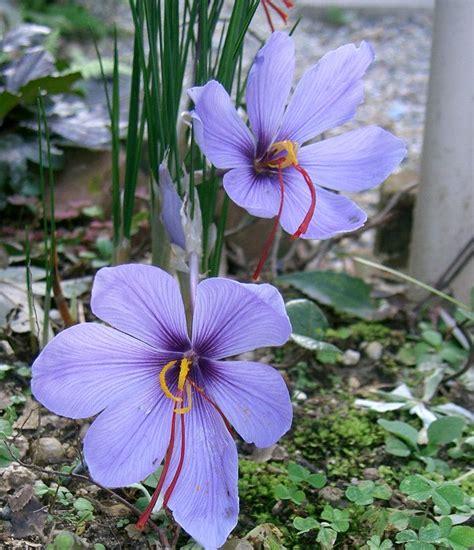 saffron flower crocus sativus wikipedia
