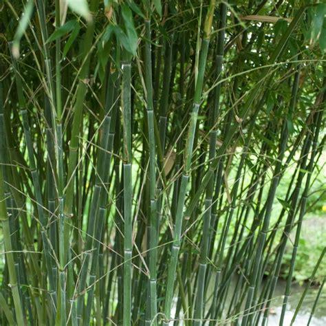 bambou phyllostachys bissetii en pot bambou moyen phyllostachys bissetii plantes et jardins