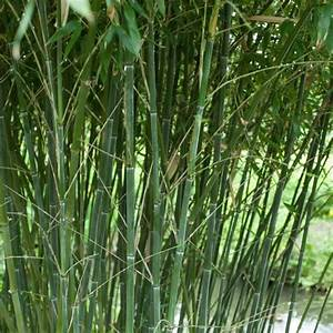 Bambou A Planter : bambou moyen phyllostachys bissetii plantes et jardins ~ Premium-room.com Idées de Décoration