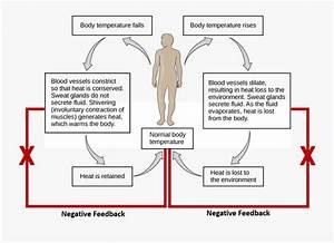 1 Homeostatic Regulation Of Temperature In Humans