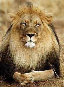 Animal Planet Big Cats Lions