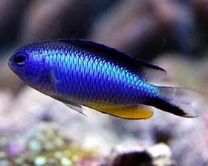 Neon damselfish Exotics Fish