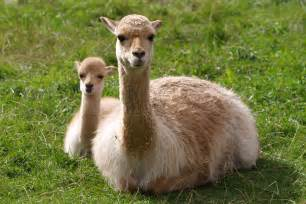 Vicuna Animals of South America