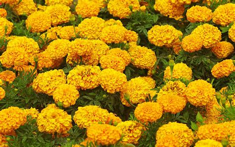 marigolds in garden wallpapers marigold flowers wallpapers