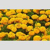 Marigold Flower Wallpaper | 1600 x 1000 jpeg 311kB