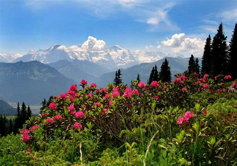 the language of flowers the spectacular region of beatenberg berner oberland