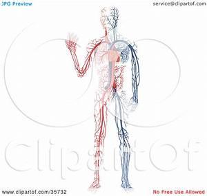 Human Vein Clipart