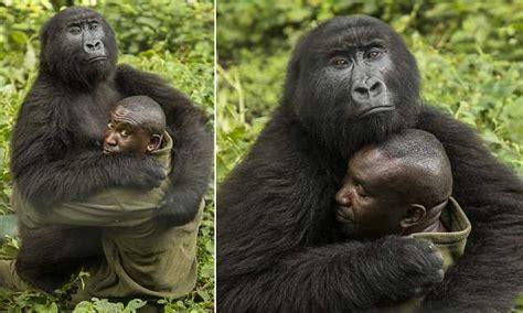 huge gorilla cuddles    worried  national park