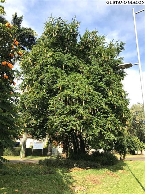 Viveiro Ciprest - Plantas Nativas e Exóticas: Árvore das ...