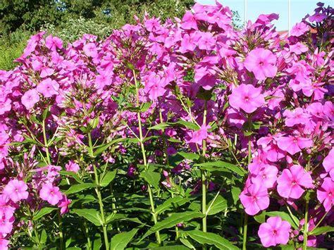 Rosa Blühende Stauden by Stauden Die Staude Staudenpflanzen