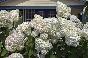 Bilder Von Steingärten : gro e hortensien diese sorten wachsen besonders hoch ~ Indierocktalk.com Haus und Dekorationen