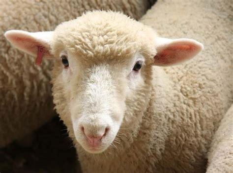 livestock breed show san diego county fair