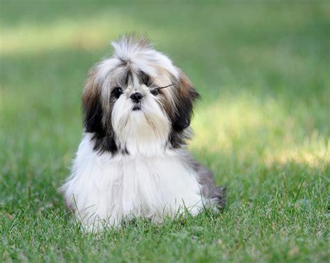 Best Pet Friendly Carpet by Shih Tzu