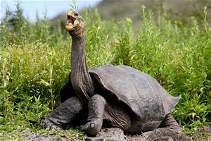 Galapagos tortoise back from the brink | Earth | EarthSky
