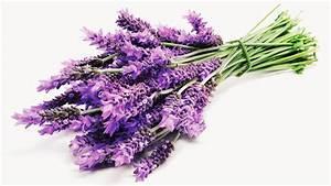 Plant De Lavande : what lavender can do for you ~ Nature-et-papiers.com Idées de Décoration