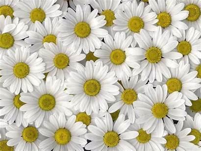 Daisy Wallpapers