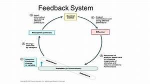 Diagram  Negative Feedback Loop Diagram