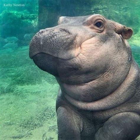 si e social hippopotamus saving fiona fiona hippo baby book review