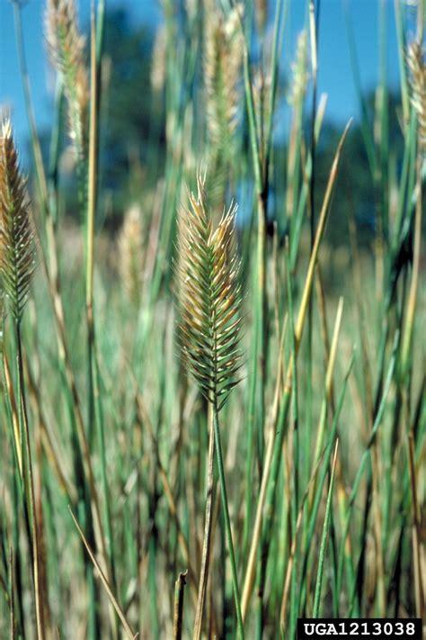 crested wheatgrass agropyron cristatum cyperales