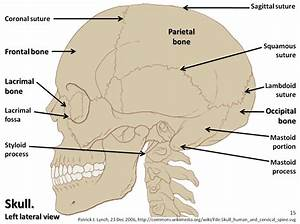Skull Diagram  Lateral View With Labels Part 1