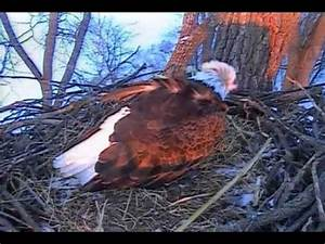 Mom Decorah Laying her 2nd egg D19 woohoo incredible ...