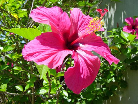 quand tailler les hibiscus en pot quand tailler un hibiscus en pot de conception de maison