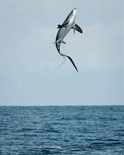 Thresher Shark Jumping Sharks Creature Feature Wikipedia