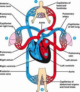 Image Result For Chart Of How Blood Flows Through Heart