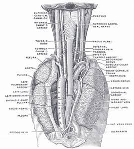 The Esophagus - Human Anatomy