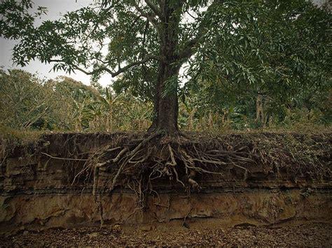cedar tree root system pin tree root wood carvings export bali on pinterest