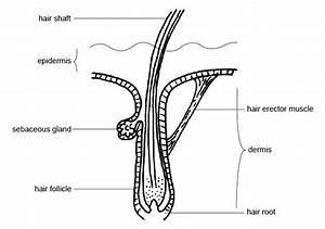 Anatomy - Hair