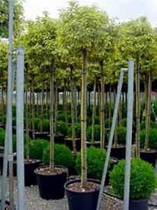 Sichtschutz Bäume Immergrün : immergr ne lweide sichtschutz besonders hoch gartenideen lweide immergr ne b ume und ~ Eleganceandgraceweddings.com Haus und Dekorationen