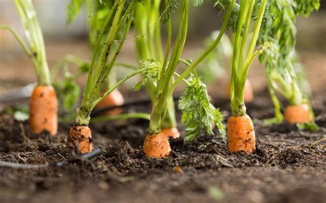 how to carrots from the garden can you grow carrots from carrot tops
