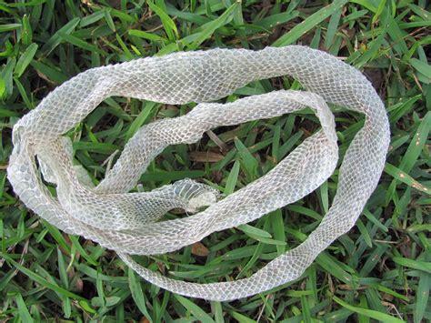 Shedding Snake by Shed Snake Skin Corn Snake By Hendyfinds