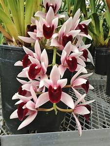 Best 25  Cymbidium Orchids Ideas On Pinterest