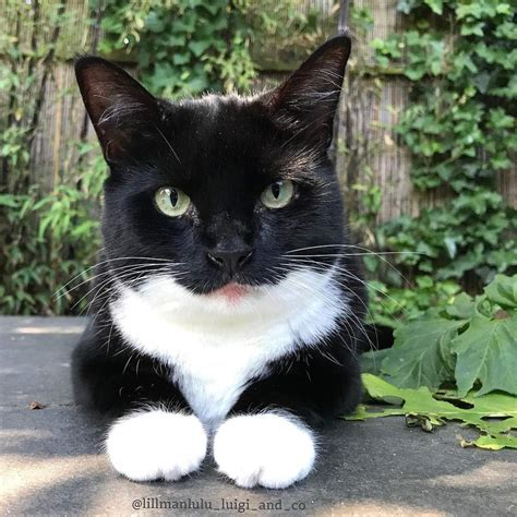 tuxedo cats cat male facts kittens looking bi hair bicolor lost funny piebald found warna fascinating fun pawsitively thesprucepets short