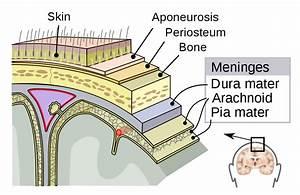 Diagram Of The Meninges