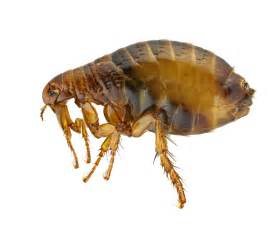 cat flea insect pests armor