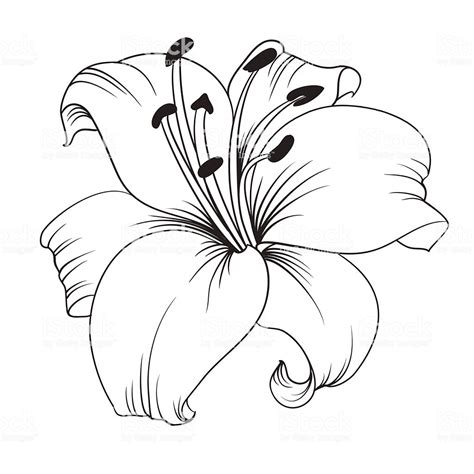 white lily stock vector art  images