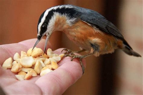 suburban backyards see invasion of rarely seen migratory
