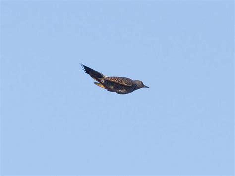san diego birding birding california and beyond with