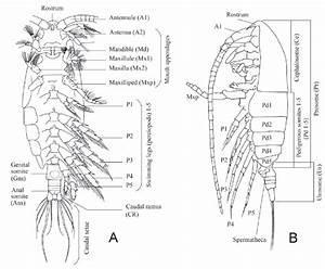 External Morphology Of Calanoid Copepods  Diagram Of An
