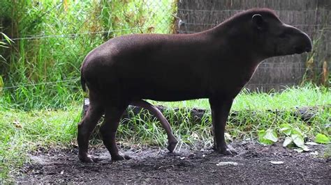 BRAZILIAN TAPIR with five legs at Melbourne zoo ...