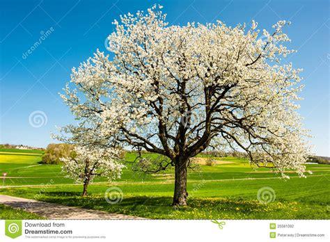 Im Frühjahr by Bl 252 Hende B 228 Ume Im Fr 252 Hjahr Stockfotografie Bild 25581092