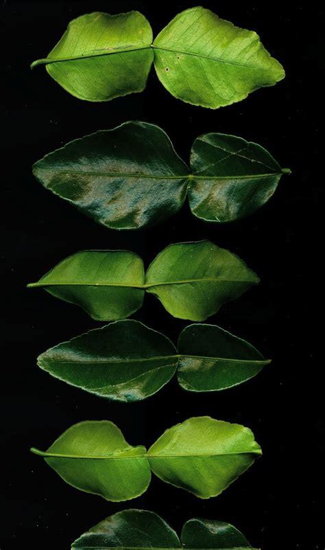 kaffir lime leaves kaffir lime leaves leaves pinterest
