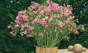 Oleander Stecklinge Wurzeln Nicht : oleander vermehren vermehrung ~ Lizthompson.info Haus und Dekorationen