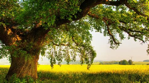 oak tree wallpapers archives hdwallsourcecom