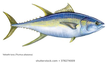 tuna stock images royalty  images vectors
