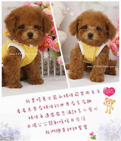 Teacup Poodle Toy Teddy Bear Poodles Pocket